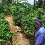Coffee Cultivation in Honduras: from Struggle to Strength