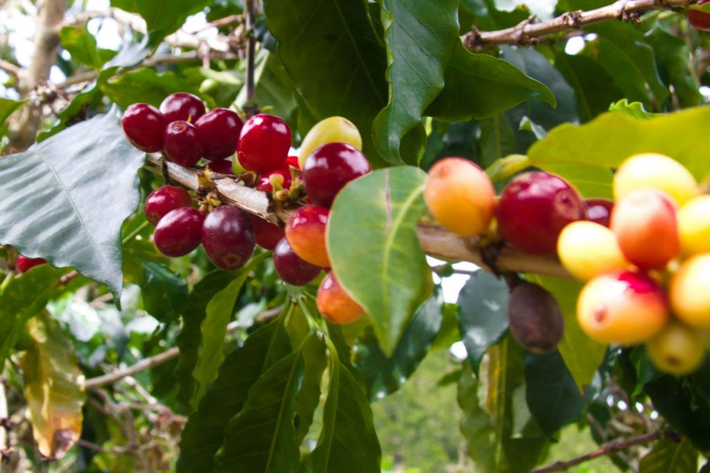 Coffee Producers in Colombia: Thriving, Not Just Surviving 1