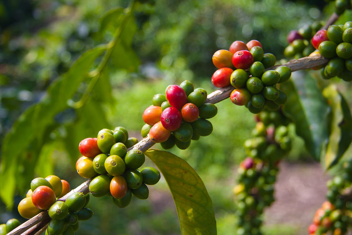 Coffee Beans waiting to be harvested