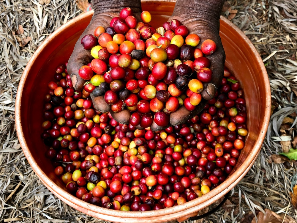 ripe coffee cherries, tanzania